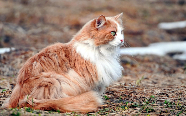 Fluffy Hairy Cat Image wallpapersafari