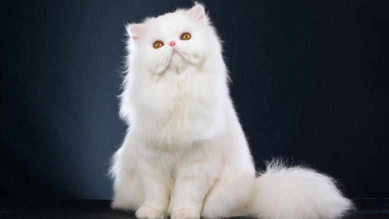 White Fluffy Cat Transparent Image mewallpapers