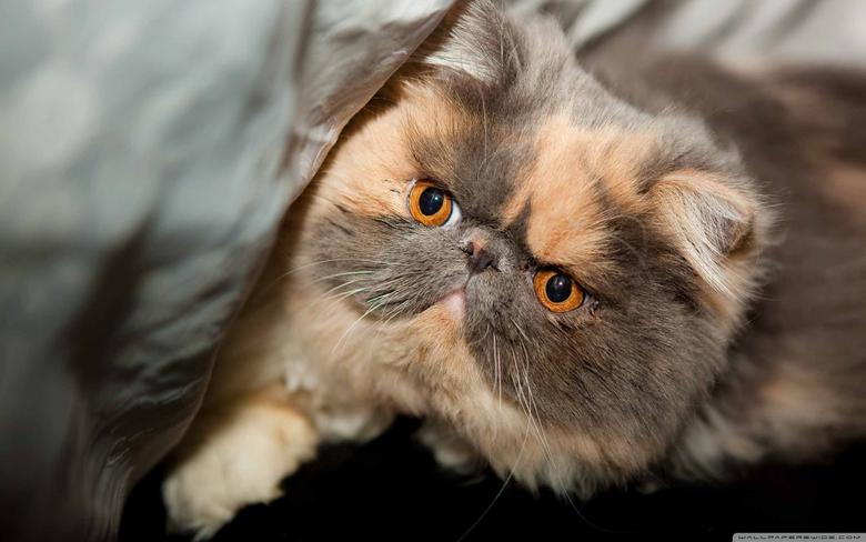 Persian Cat Wallpapers Group