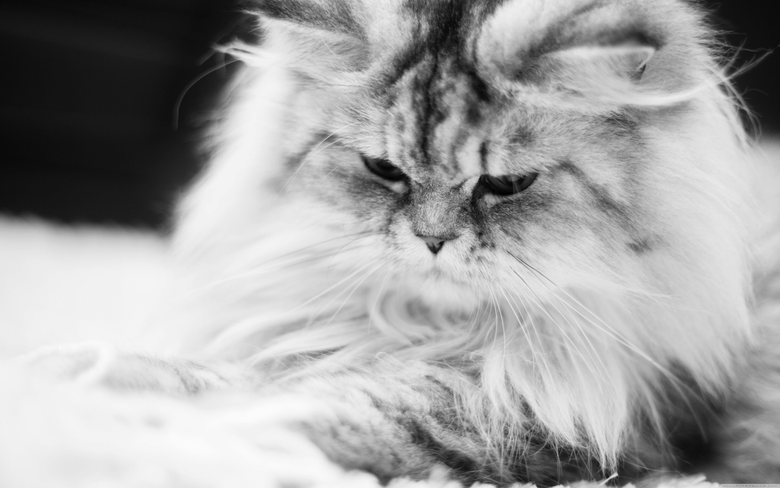 Exsotic Long Hair Persian Cat