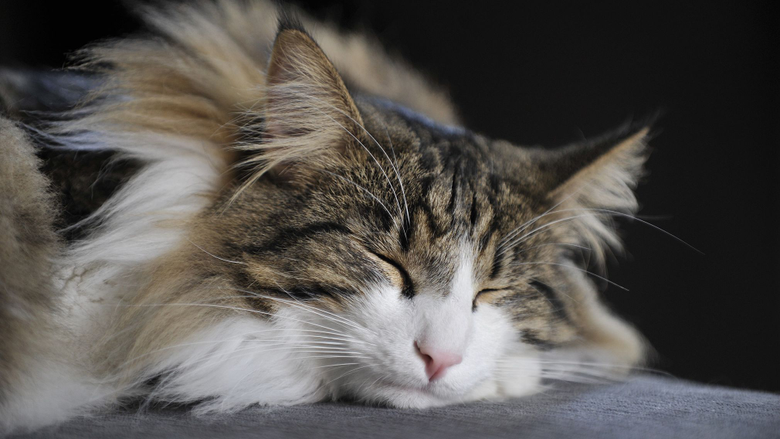 Cute Pictures of Norwegian Forest Catsthesprucepets