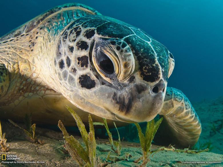 Green Sea Turtle Picture