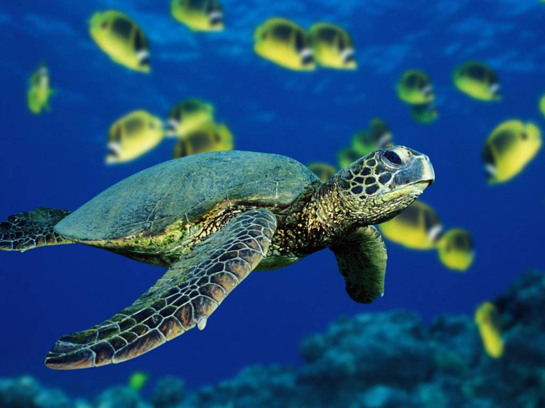 Green Sea Turtle Wallpapers