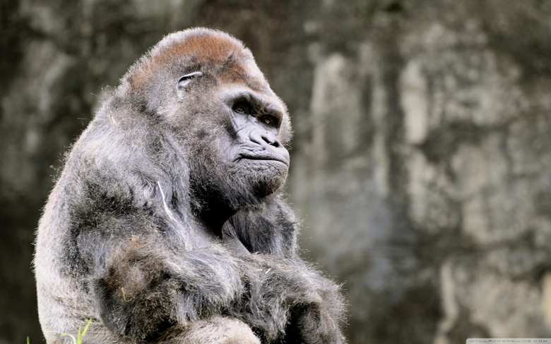 The Most Beautiful Thoughtful Gorilla Wallpapers