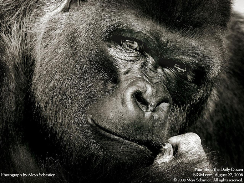 Silverback Gorilla Wallpapers Pictures on Animal Picture Society