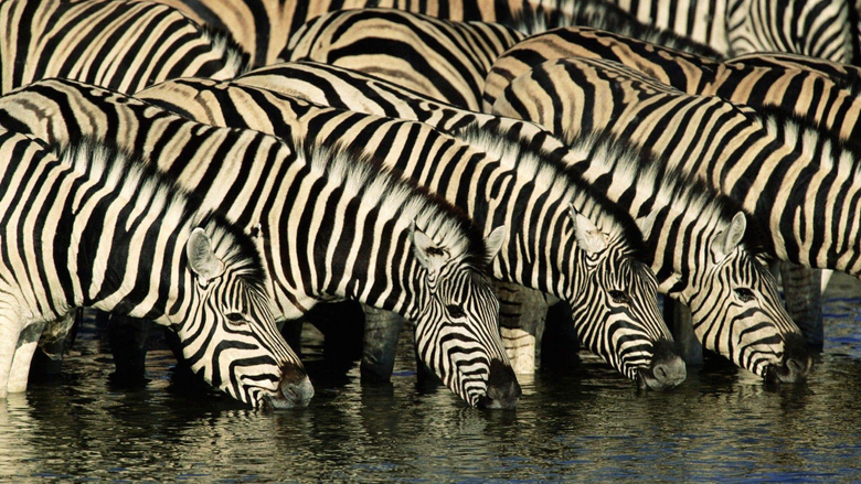 Zebra Wallpapers Pictures Image