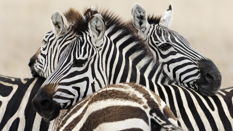 Wallpapers with a group of zebras