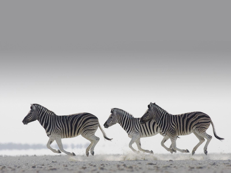 Zebras HD wallpapers