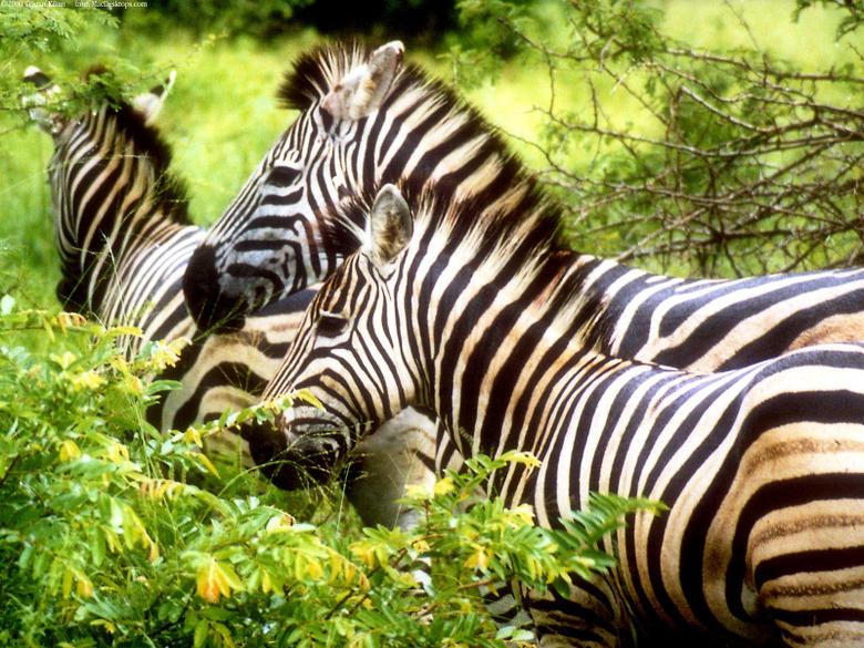 Zebras Wallpapers