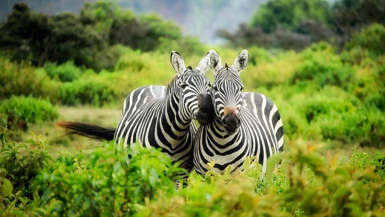 Zebras In Kenya Wallpapers