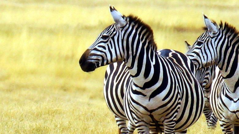 Zebras Tag wallpapers Animals Zebras Fields Sunsets Sunrises