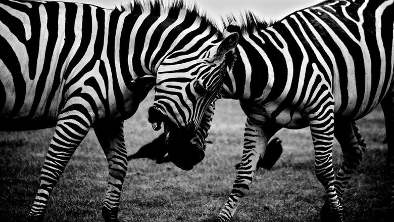 Fighting zebras HD desktop wallpapers Widescreen High
