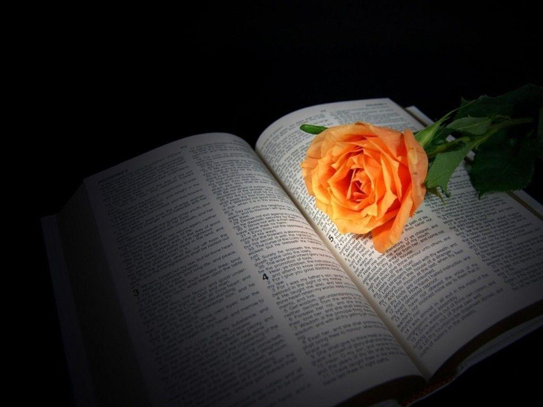 peach rose on Bible Desktop and mobile wallpapers Wallippo