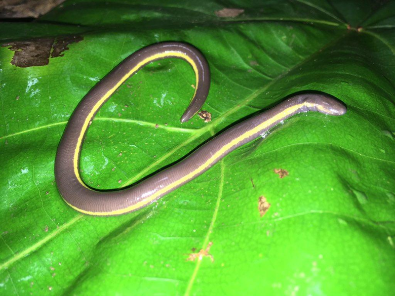 caecilian hashtag on Twitter