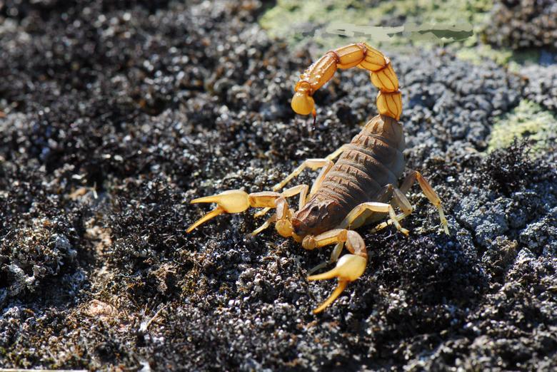 Scorpion HD Wallpapers