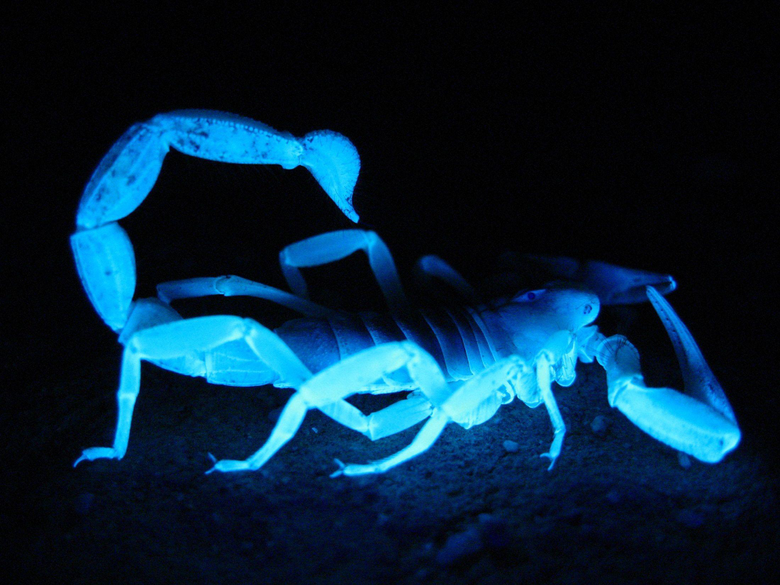 Blue Fluorescent Scorpion Full HD Wallpapers and Backgrounds Image