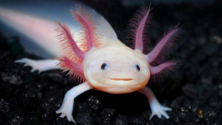 Axolotl HD Wallpapers