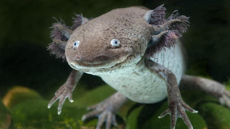 Axolotl Underwater Wallpapers