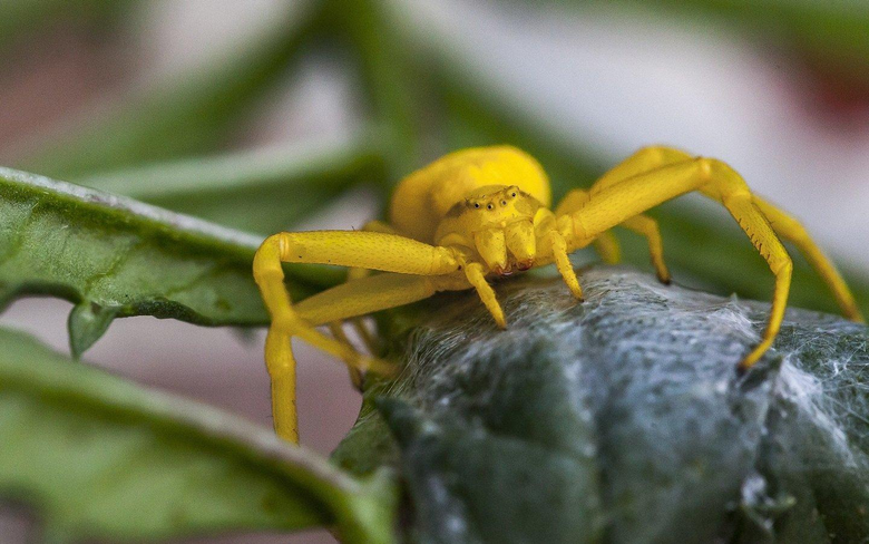 Yellow Flower Crab Spider Wallpapers and Backgrounds Image