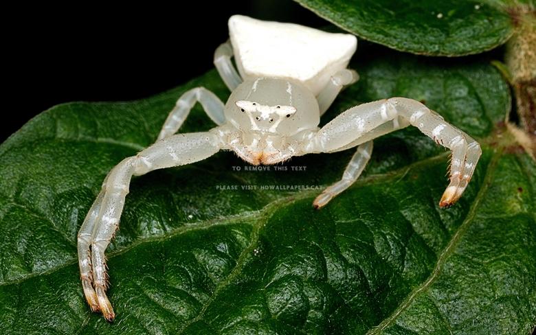 white crab spider leafs arachnids nature