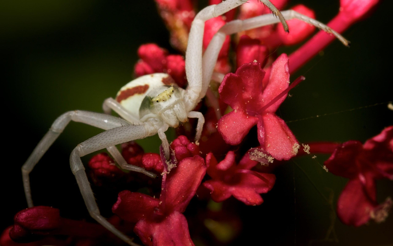 White crab spider perched on red petaled flower in closeup