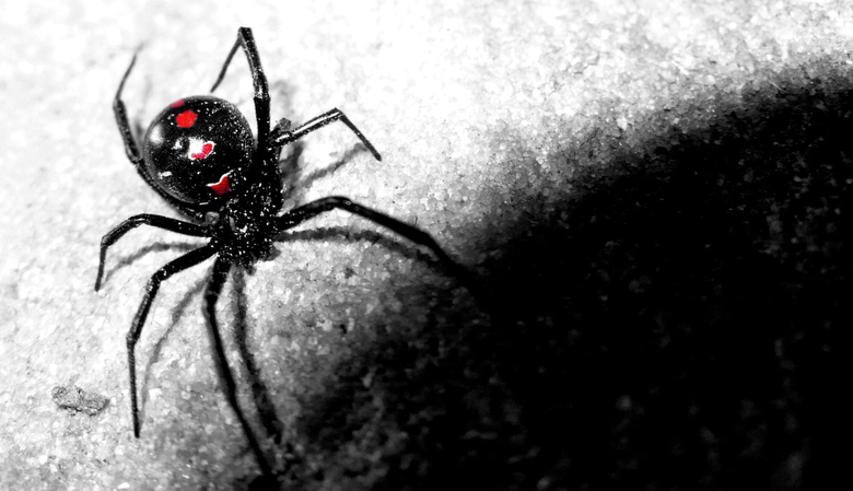 Black Widow Spider Wallpapers