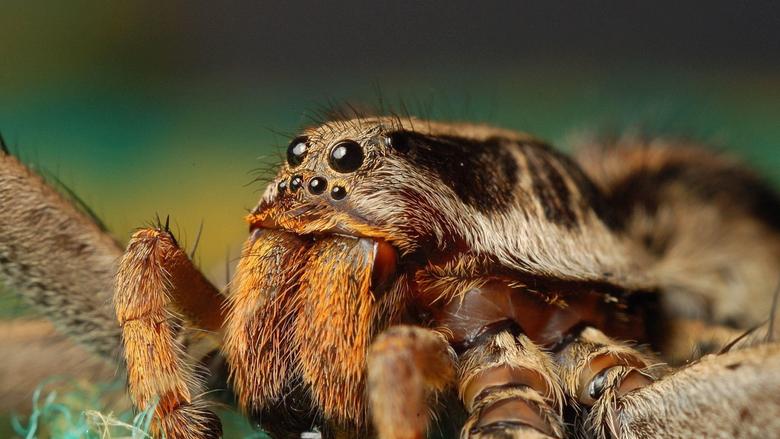 Magnificent tarantula