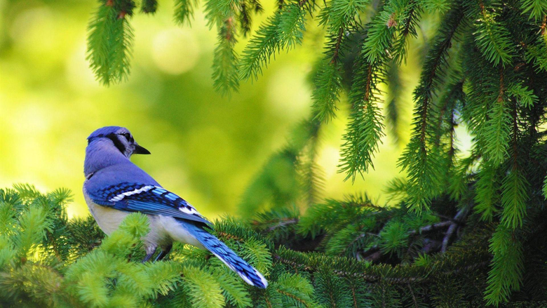 Blue Jay Bird Animal Graphy Wallpapers