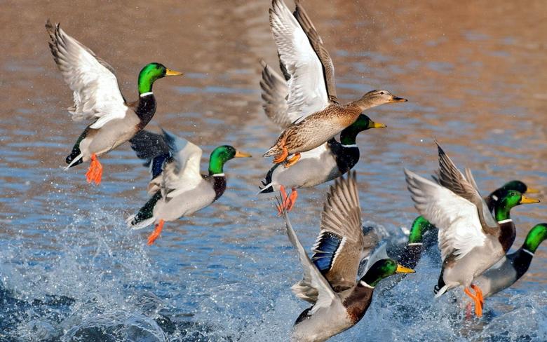 Mallard Duck Wallpapers