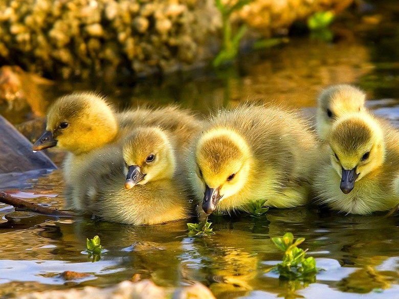 Baby Duck Wallpapers 13934 1024x768 px HDWallSource