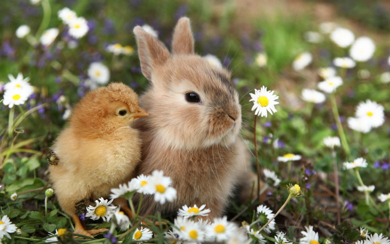 wallpapers cute animals rabbit little chick
