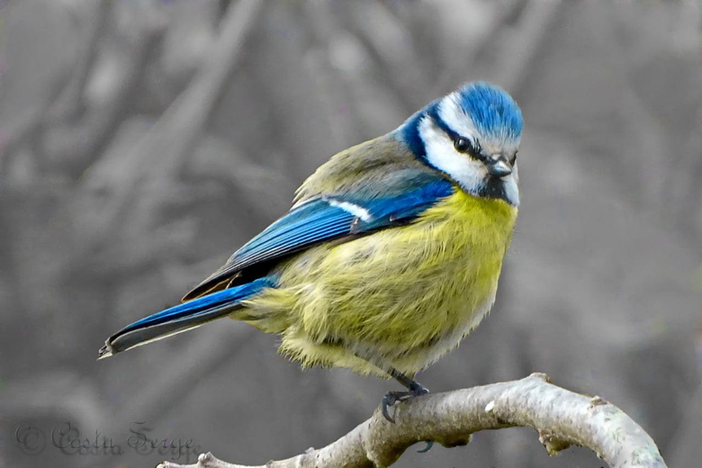 Blue white and yellow Finch HD wallpapers