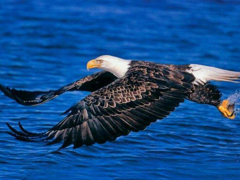 Bald Eagle Desktop Wallpapers
