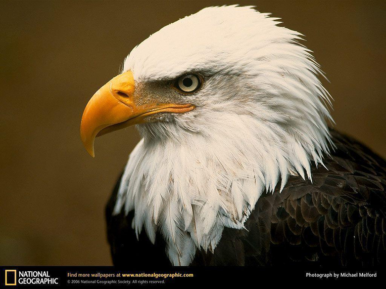 Bald Eagle Picture Bald Eagle Desktop Wallpaper Wallpapers