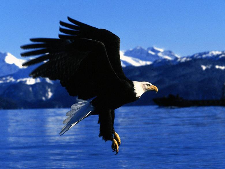 American Bald Eagle X Animal Wallpapers