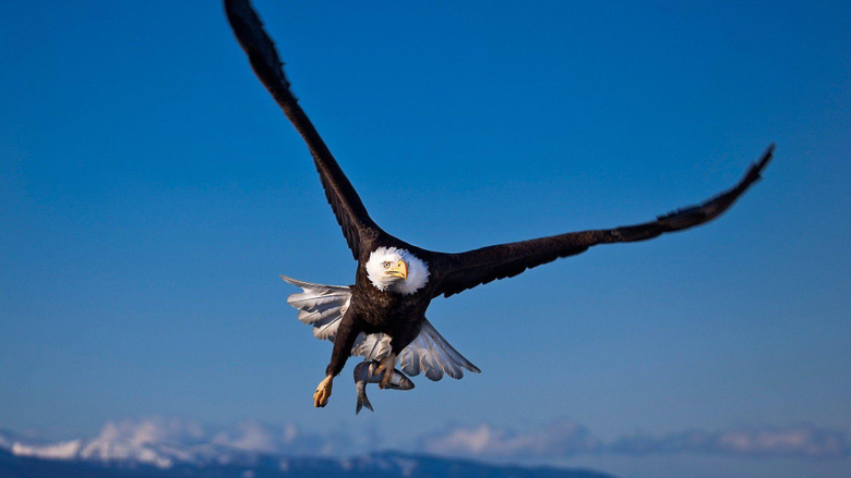 Animals For American Eagle Hd Wallpapers