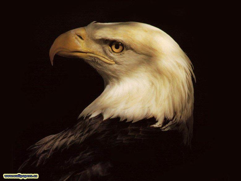 Animals For 3d Eagle Wallpapers Desktop