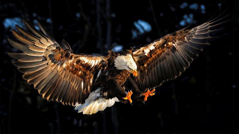 Eagle HD Wallpapers