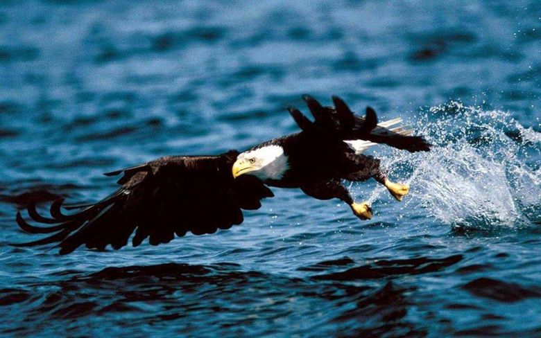wallpapers Eagle Wallpapers