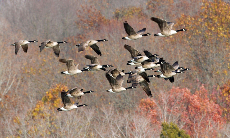Geese goose autumn fall wallpapers