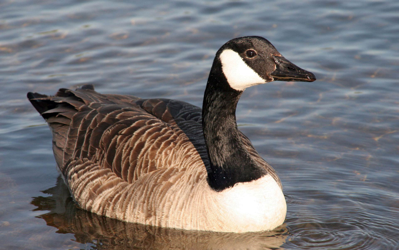 goose pictures A3