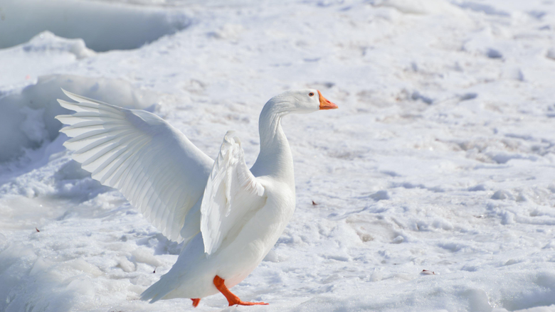Snow Goose HD Wallpapers