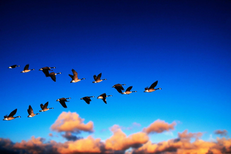 Geese flight migration sky clouds wallpapers