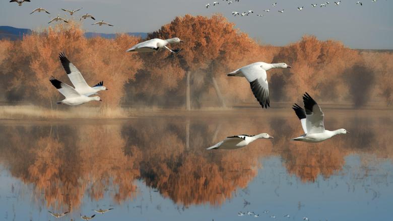 Goose HD Wallpapers