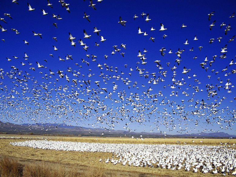 Snow Goose Wallpapers Collection of Snow Goose Backgrounds Snow