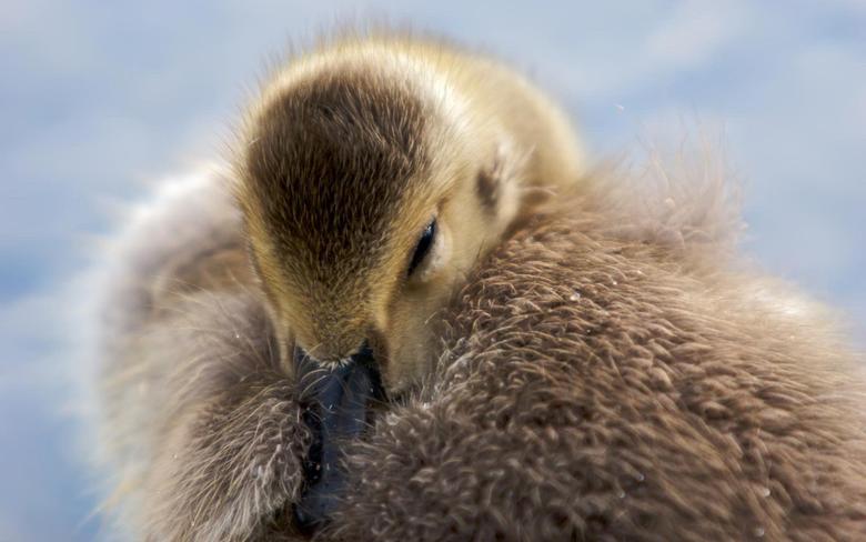 Fluffy Goose