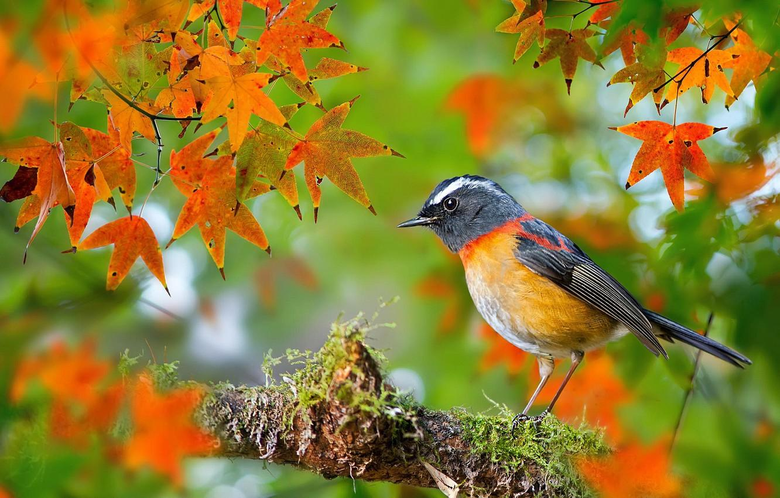 Wallpapers autumn leaves macro bird moss branch