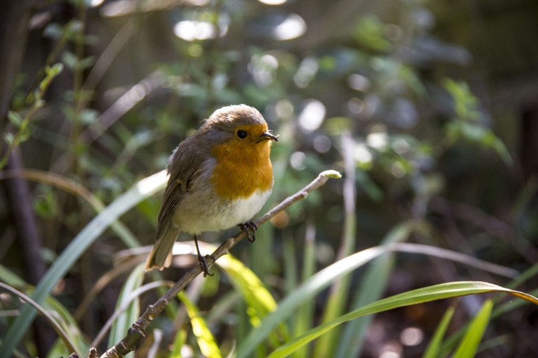 beak bird branch england european robin garden great britain