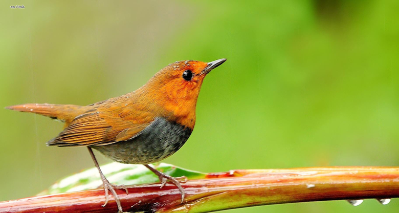 Image of a Robin on Animal Picture Society