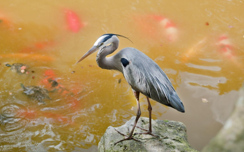 Heron Wallpapers and Backgrounds Image